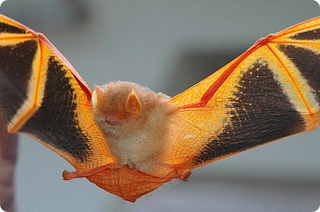 Украшенный гладконос (лат. Kerivoula picta)