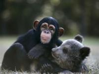 Невероятная дружба шимпанзе и медвежонка