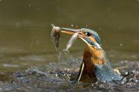 Зимородки — отменные рыбаки