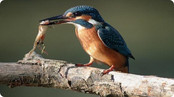 Зимородки - отменные рыбаки