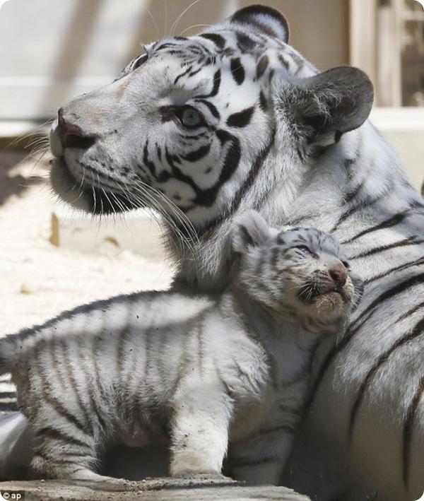 В Японии публике представили белых тигрят
