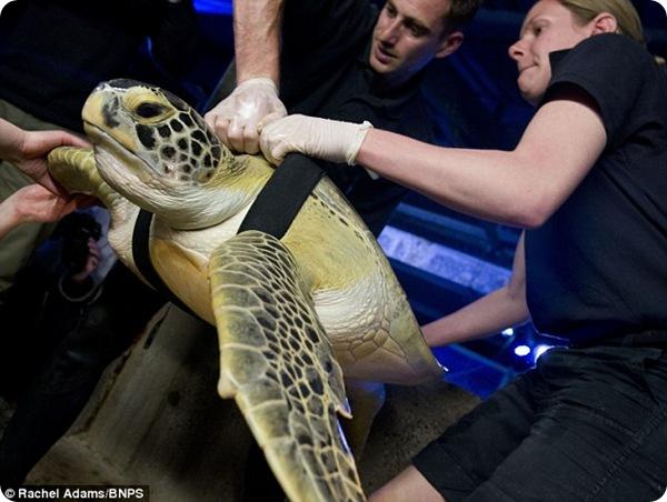 Черепаха Али впервые поплыла за 11 лет!