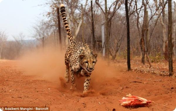 В замбийском заповеднике гепардов учат охотиться