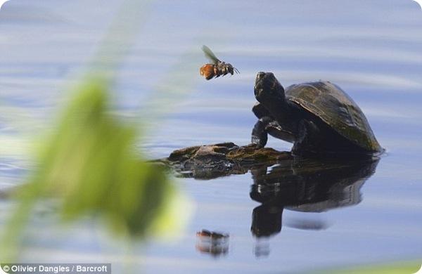 """Пчёлы пьют черепашьи """"слёзы""""!"""