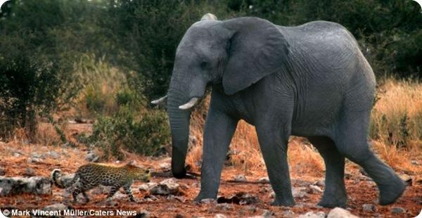 Леопард и водные процедуры