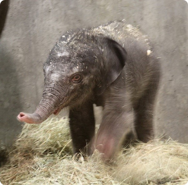 Зоопарк Сент-Луиса представил своего нового слоненка