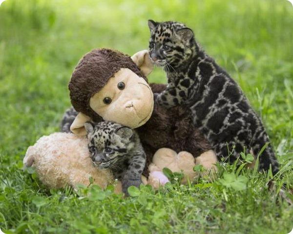 Детеныши дымчатого леопарда из Нэшвилла