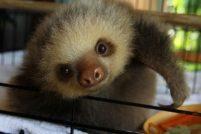 Ленивцы из Центра спасения на Коста-Рике