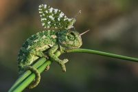 Хамелеон и бабочка — необычный дуэт