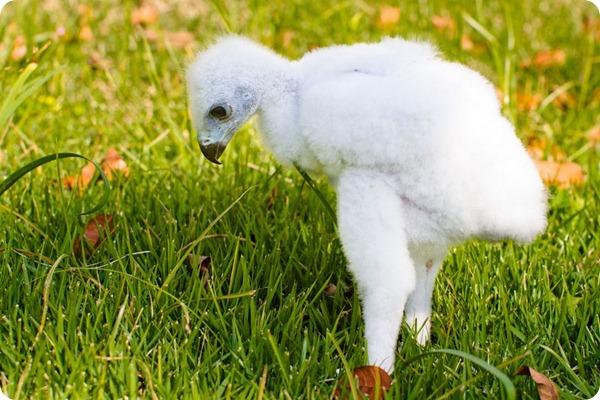 Будущий хохлатый красавец из зоопарка Сан-Паоло