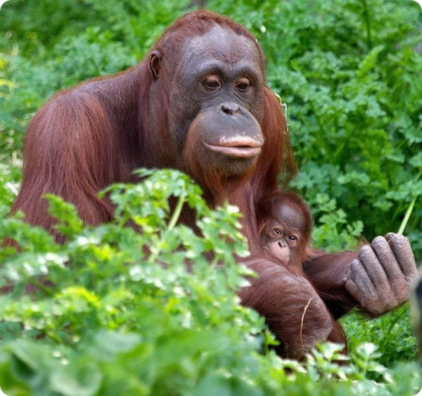 Детеныш орангутана из Paignton Zoo