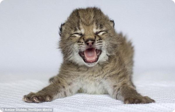 Я – рысь, а не котенок!