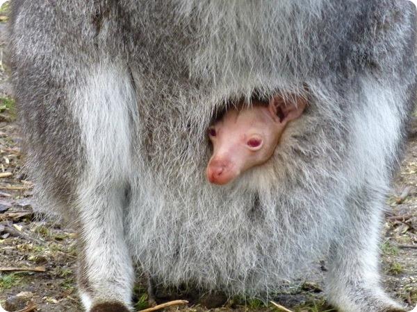 Валлаби-альбинос из Linton Zoo