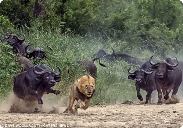 Буйволы против льва