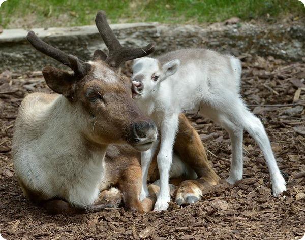 Белоснежный олененок из Вены