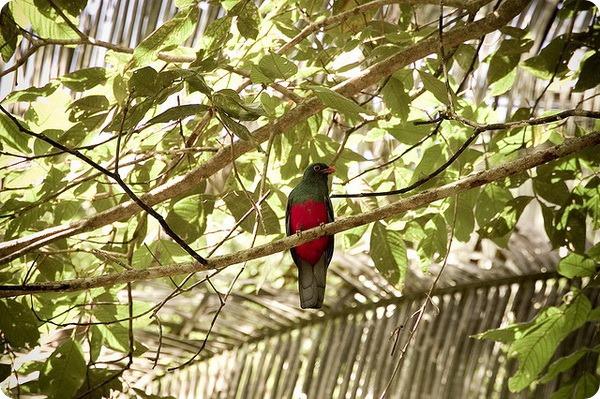 Уздечковый африканский трогон (лат. Apaloderma narina)