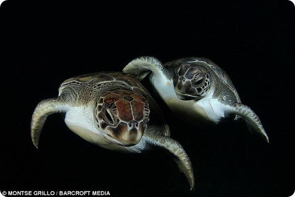 Поцелуй морской черепахи