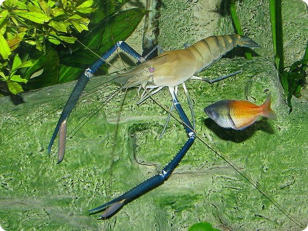Гигантская пресноводная креветка (лат. Macrobrachium rosenbergii)