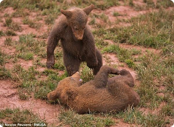 Ленивый медвежонок из парка Кабарсено