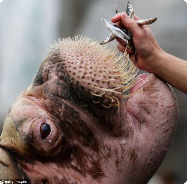У моржа по кличке Один проверили зубки