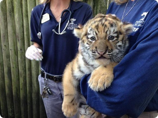 Амурский тигренок из зоопарка Питтсбурга