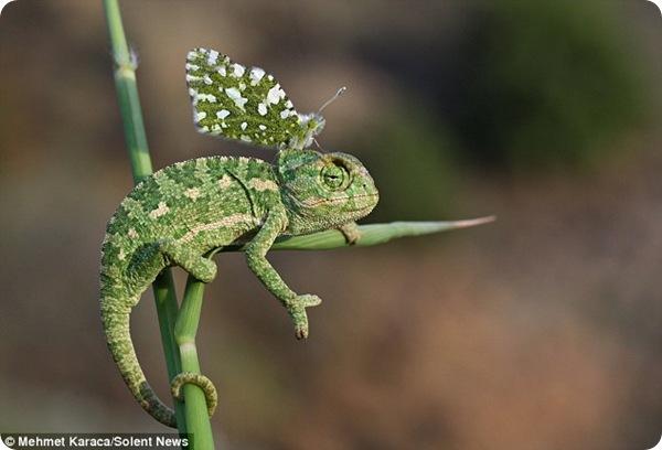 Хамелеон и бабочка - необычный дуэт