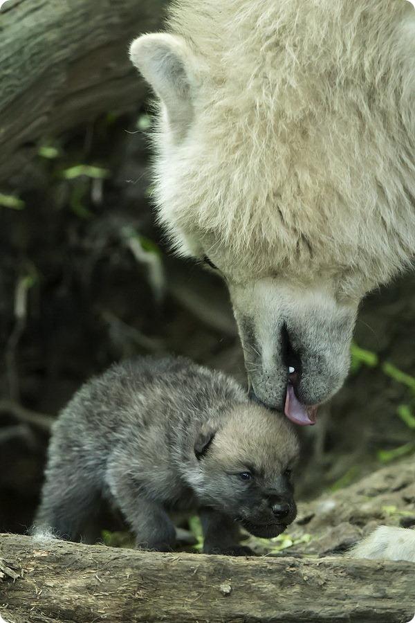 Полярные волчата из зоопарка Вены