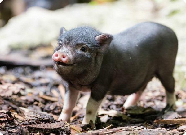 Карликовые свиньи Базеля