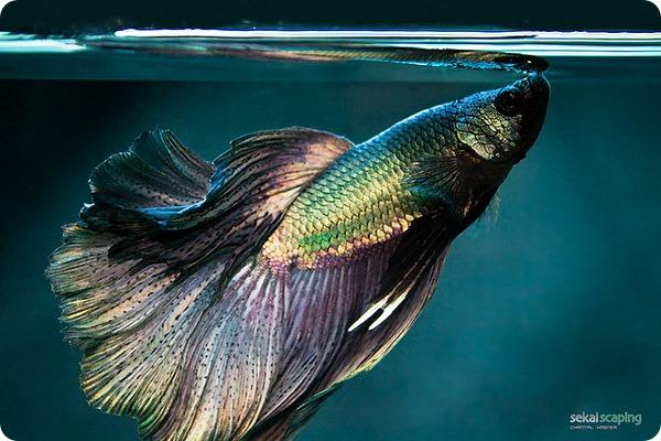 Плакатные бойцовые рыбки (лат. Betta splendens)