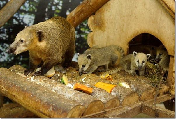 Пять игривых носух из Taipei Zoo