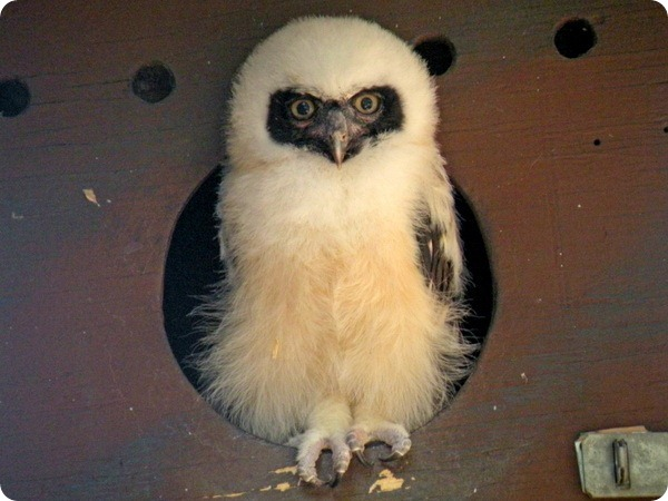 Детеныш очковой совы из зоопарка Феникса