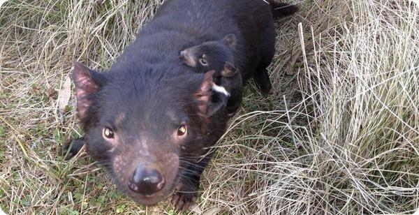 Детеныши тасманийского дьявола из Devil Ark