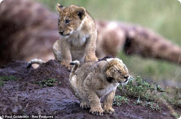 Львиный пир