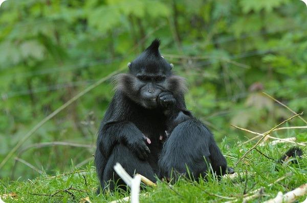 Черный бородатый мангобей (лат. Lophocebus aterrimus)