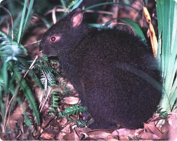Лазающий заяц (лат. Pentalagus furnessi)