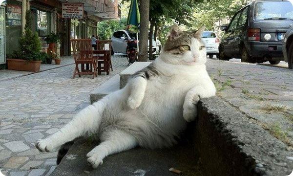 Лишний вес у кошек: лечение и профилактика