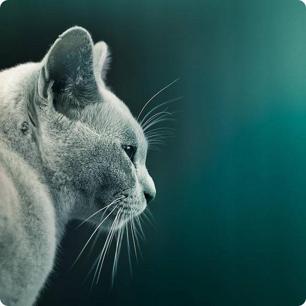 Почему кошки мурлычут ?