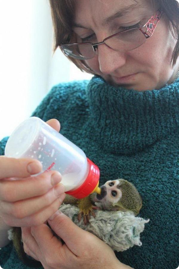 В зоопарке Варшавы выхаживают беличью обезьянку