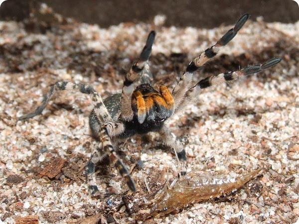 Южнорусский тарантул (лат. Lycosa singoriensis)