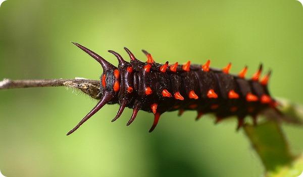 Гусеница Battus philenor