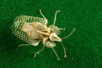 Кружевница Corythucha ciliata