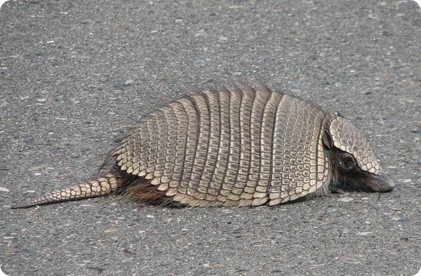 Карликовый броненосец (лат. Zaedyus pichiy)