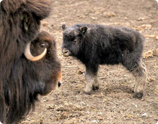 Детеныш овцебыка из зоопарка Калгари