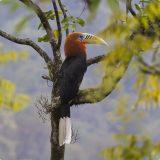 Непальский калао