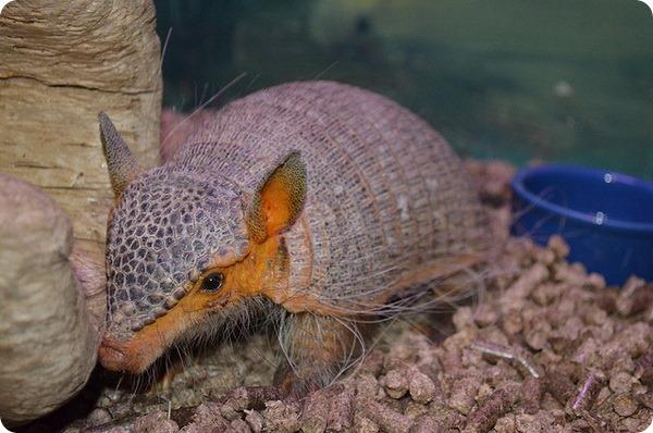 Длинноволосый броненосец (лат. Chaetophractus vellerosus)
