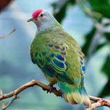 Марианский пестрый голубь