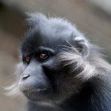 Черный бородатый мангобей