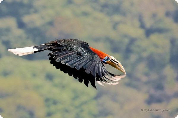 Непальский калао (лат. Aceros nipalensis)