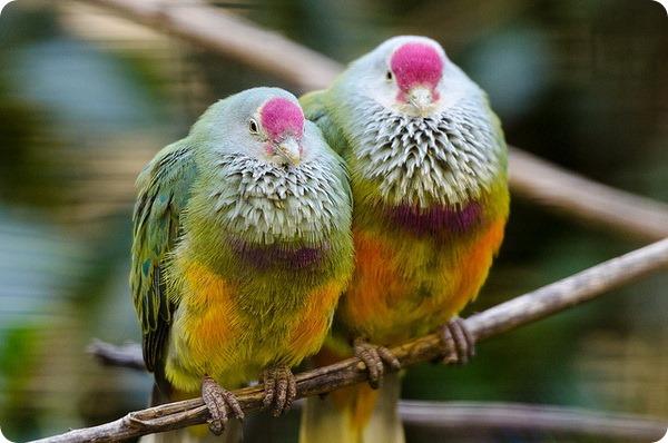 Марианский пестрый голубь (лат. Ptilinopus roseicapilla)