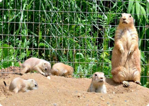 Чернохвостые луговые собачки из Maryland Zoo